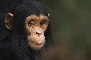 Eastern Chimpanzee (Pan troglodytes schweinfurthii) young male, two years old, Gombe National Park, Tanzania - Fiona Rogers