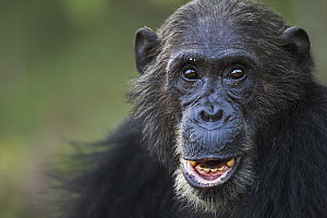 Eastern Chimpanzee (Pan troglodytes schweinfurthii) male, thirty-six years old, Gombe National Park, Tanzania - Fiona Rogers