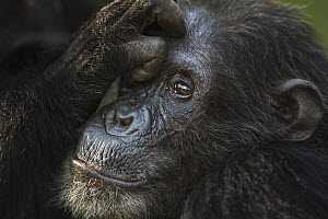 Eastern Chimpanzee (Pan troglodytes schweinfurthii) male, thrity-six years old, being groomed, Gombe National Park, Tanzania - Fiona Rogers