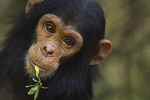 Eastern Chimpanzee (Pan troglodytes schweinfurthii) young male, two years old, feeding on leaves, Gombe National Park, Tanzania - Fiona Rogers