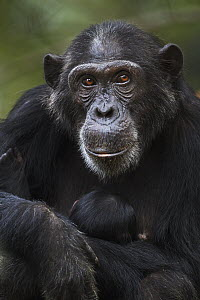 Eastern Chimpanzee (Pan troglodytes schweinfurthii) mother, twenty-three years old, holding less than one day old newborn, Gombe National Park, Tanzania - Fiona Rogers