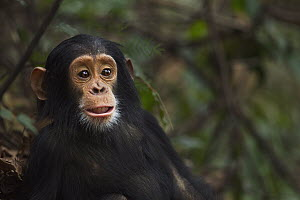 Eastern Chimpanzee (Pan troglodytes schweinfurthii) young female, two years old, Gombe National Park, Tanzania - Fiona Rogers