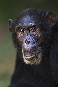 Eastern Chimpanzee (Pan troglodytes schweinfurthii) male, fourty-one years old, Gombe National Park, Tanzania - Fiona Rogers