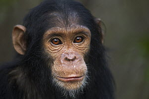 Eastern Chimpanzee (Pan troglodytes schweinfurthii) young female, four years old, Gombe National Park, Tanzania - Fiona Rogers