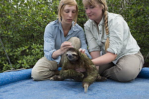 Pygmy Three-toed Sloth (Bradypus pygmaeus) biologist, Rebecca Cliffe, taking hair samples, Isla Escudo de Veraguas, Panama - Suzi Eszterhas