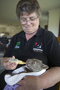 Common Wombat (Vombatus ursinus) foster mother, Linda Tabone, bottle feeding six month old orphaned joey, Bonorong Wildlife Sanctuary, Tasmania, Australia  -  Suzi Eszterhas