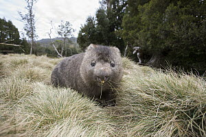 Common Wombat (Vombatus ursinus)feeding, Cradle Mountain-Lake Saint Clair National Park, Tasmania, Australia  -  Suzi Eszterhas