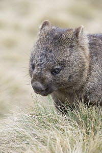 Common Wombat (Vombatus ursinus), Cradle Mountain-Lake Saint Clair National Park, Tasmania, Australia  -  Suzi Eszterhas