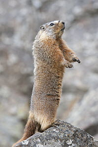 Yellow-bellied Marmot (Marmota flaviventris) on alert, Yellowstone National Park, Wyoming  -  Steve Gettle