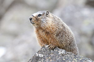 Yellow-bellied Marmot (Marmota flaviventris), Yellowstone National Park, Wyoming  -  Steve Gettle