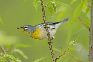 Northern Parula (Setophaga americana), Crane Creek State Park, Ohio  -  Steve Gettle