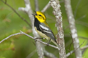 Black-throated Green Warbler (Setophaga virens) male calling, northern Michigan  -  Steve Gettle