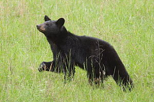Black Bear (Ursus americanus), Great Smoky Mountains National Park, North Carolina - Steve Gettle