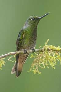 Buff-tailed Coronet (Boissonneaua flavescens) hummingbird, Tandayapa Valley, Ecuador  -  Steve Gettle