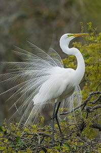 Great Egret (Ardea alba) in courtship display, North America - Steve Gettle