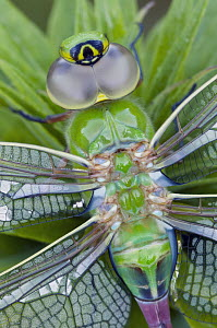 Green Darner (Anax junius) dragonfly, North America - Steve Gettle