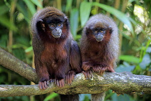 Dusky Titi Monkey (Callicebus moloch) and sub-adult, native to South America  -  Juergen & Christine Sohns