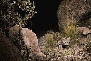 Pampas Cat (Leopardus colocolo) in altiplano at night, Ciudad de Piedra, Andes, western Bolivia - Sebastian Kennerknecht