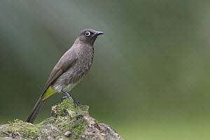 Cape Bulbul (Pycnonotus capensis), Western Cape, South Africa  -  Nate Chappell/ BIA