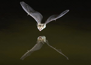 Pallid Bat (Antrozous pallidus) flying over pond at night, Arizona  -  Nate Chappell/ BIA