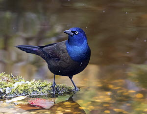 Common Grackle (Quiscalus quiscula), Saskatchewan, Canada  -  Nick Saunders/ BIA