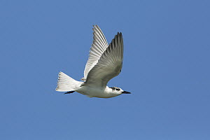 White-winged Black Tern (Chlidonias leucopterus) flying, Victoria, Australia  -  Rob Drummond/ BIA