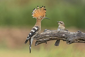 Eurasian Hoopoe (Upupa epops) and Red-backed Shrike (Lanius collurio) in defensive posture, Aosta Valley, Italy  -  Alain Ghignone/ BIA