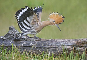 Eurasian Hoopoe (Upupa epops) stretching, Aosta Valley, Italy  -  Alain Ghignone/ BIA
