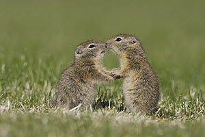 Belding's Ground Squirrel (Spermophilus beldingi) young playing, Oregon  -  Nate Chappell/ BIA