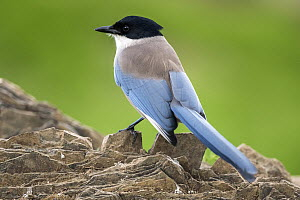 Iberian Magpie (Cyanopica cooki), Andalusia, Spain - Oscar Diez/ BIA