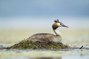 Great Crested Grebe (Podiceps cristatus) on floating nest, Piedmont, Italy  -  Alain Ghignone/ BIA