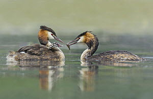 Great Crested Grebe (Podiceps cristatus) pair feeding chick, Piedmont, Italy  -  Alain Ghignone/ BIA