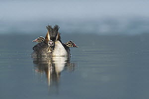 Great Crested Grebe (Podiceps cristatus) parent carrying chicks, Piedmont, Italy  -  Alain Ghignone/ BIA