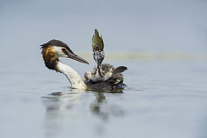 Great Crested Grebe (Podiceps cristatus) chick swallowing fish, Piedmont, Italy  -  Alain Ghignone/ BIA