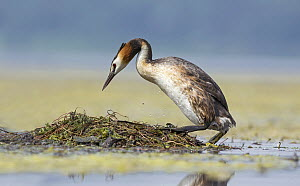 Great Crested Grebe (Podiceps cristatus) at floating nest, Piedmont, Italy  -  Alain Ghignone/ BIA