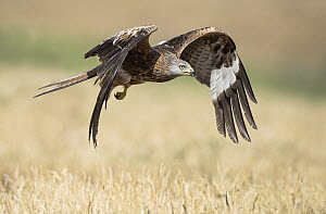 Red Kite (Milvus milvus) flying, Castile-La Mancha, Spain  -  Alain Ghignone/ BIA