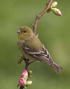 Lesser Goldfinch (Carduelis psaltria) female, California  -  Douglas Herr/ BIA