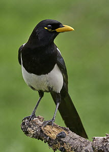 Yellow-billed Magpie (Pica nuttalli), California  -  Douglas Herr/ BIA