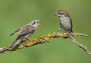 Red-backed Shrike (Lanius collurio) mother feeding fledgling, Aosta Valley, Italy  -  Alain Ghignone/ BIA