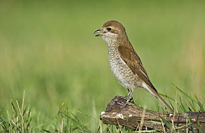 Red-backed Shrike (Lanius collurio) female calling, Aosta Valley, Italy  -  Alain Ghignone/ BIA