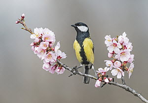 Great Tit (Parus major), Aosta Valley, Italy  -  Alain Ghignone/ BIA
