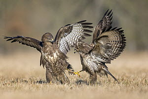 Common Buzzard (Buteo buteo) pair fighting, Saxony-Anhalt, Germany - Thomas Hinsche/ BIA