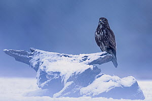 Common Buzzard (Buteo buteo) during snowfall, Saxony-Anhalt, Germany - Thomas Hinsche/ BIA