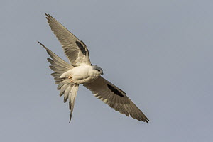Scissor-tailed Kite (Chelictinia riocourii) flying, Senegal  -  Peter Hering/ BIA