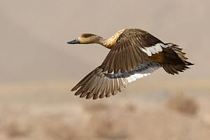 Crested Duck (Lophonetta specularioides) flying, Chile  -  Marcos Baumann/ BIA