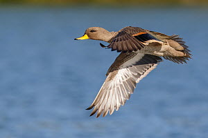 Speckled Teal (Anas flavirostris) flying, Valparaiso, Chile  -  Marcos Baumann/ BIA