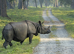 Indian Rhinoceros (Rhinoceros unicornis) crossing road, Jaldapara National Park, India - Avijan Saha/ BIA