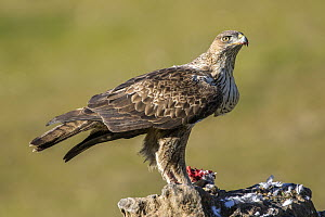 Bonelli's Eagle (Hieraaetus fasciatus) female feeding on prey, Andalusia, Spain  -  Oscar Diez/ BIA