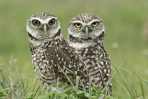 Burrowing Owl (Athene cunicularia) pair, Florida - Rosl Roessner/ BIA