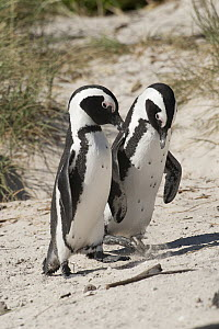 Black-footed Penguin (Spheniscus demersus) pair courting on beach, South Africa  -  Rosl Roessner/ BIA
